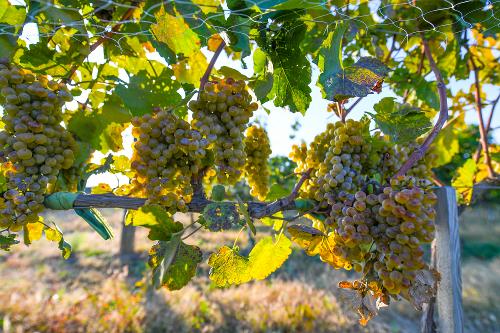 白葡萄品种--小芒森